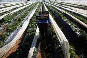 A farmer picks strawberries, to be exported, in a field in the town of Moulay Bousselham in Kenitra province